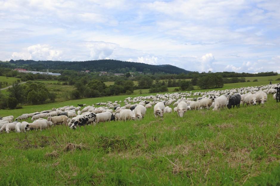 W Bieszczadach i w Beskidzie Niskim zakończył się redyk owiec