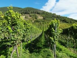 Przez mrozy właściciele winnic w Bordeaux stracili połowę zbiorów