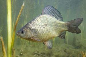 Ekolodzy: Standardy ochrony karpia mogą zostać obniżone