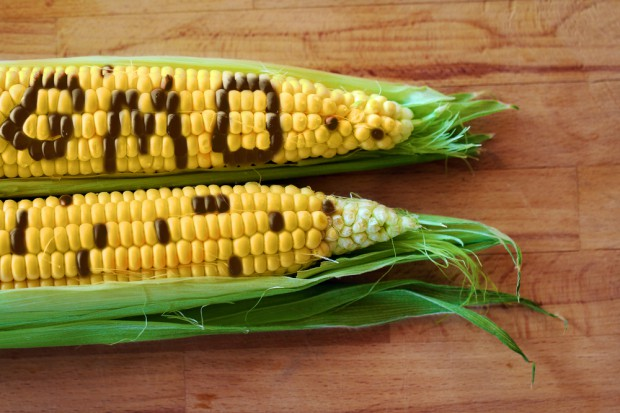 Rośnie areał upraw GMO na świecie