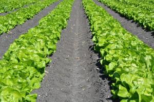 G's Fresh - brytyjski producent warzyw - rozwija działalność w Polsce