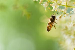 Polacy niewiele wiedzą na temat pszczół