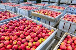 Niedobór i emocje rozgrzewają rynek jabłek