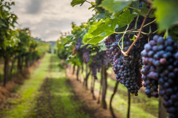 Większość winnic na Podkarpaciu przyjmuje turystów