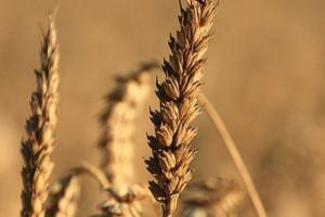 Rynek zbóż: Prawdopodobny spadek zbiorów pszenicy w 2017 i mniejszy eksport netto