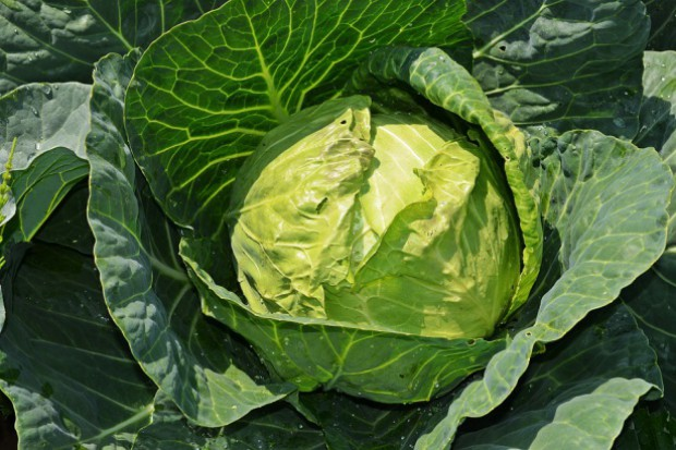 Ile zdrowia jest w warzywach kapustnych?