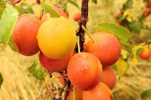 Będzie znacznie mniej polskich moreli, brzoskwiń, czereśni, wiśni i śliwek. Owoce będą droższe