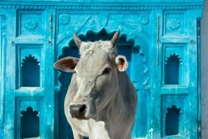 Nowe ograniczenia w sprzedaży bydła w Indiach budzą protesty