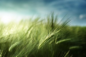 Naukowcy z UŚuzyskali jęczmieńdobrze znoszący suszę
