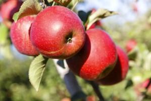 Rynek jabłek w Polsce: Rośnie produkcja, spada spożycie