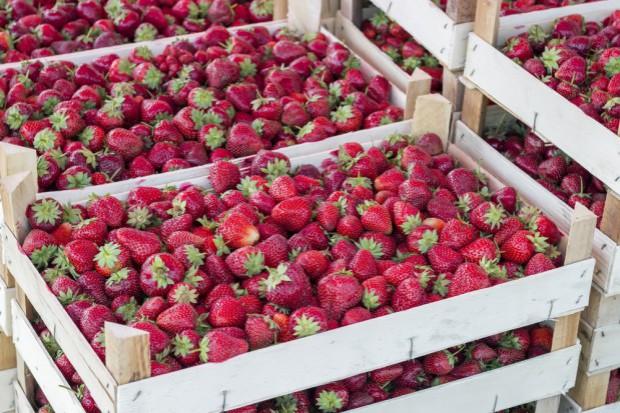 Rynek truskawek 2017: Spadek cen owoców przyspieszy