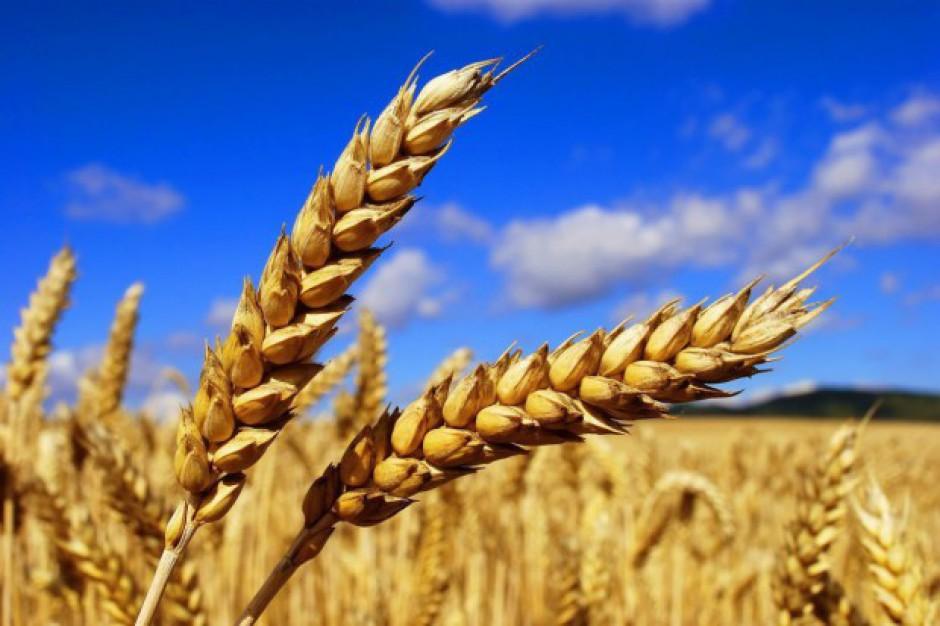 IERiGŻ: Ceny zbóż mogą rosnąć umiarkowanie do wiosny 2018