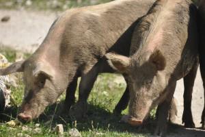 Zakaz stosowania pasz GMO uderzy w polski sektor mięsny