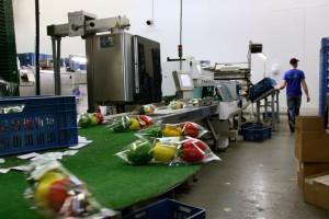 Zdjęcie numer 7 - galeria: Portalspozywczy.pl z wizytą u producentów warzyw w Belgii i Holandii (zdjęcia+wideo)