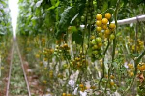 Zdjęcie numer 15 - galeria: Portalspozywczy.pl z wizytą u producentów warzyw w Belgii i Holandii (zdjęcia+wideo)