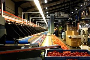 Zdjęcie numer 16 - galeria: Portalspozywczy.pl z wizytą u producentów warzyw w Belgii i Holandii (zdjęcia+wideo)