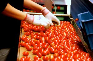 Zdjęcie numer 19 - galeria: Portalspozywczy.pl z wizytą u producentów warzyw w Belgii i Holandii (zdjęcia+wideo)