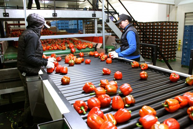 Portalspozywczy.pl z wizytą u producentów warzyw w Belgii i Holandii (zdjęcia+wideo)