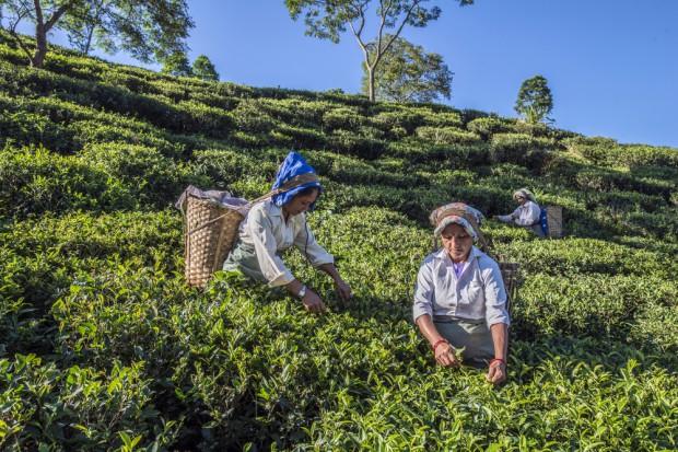 Uprawy indyjskiej herbaty Darjeeling pod znakiem zapytania
