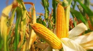 Szwajcarski producent GMO ma zapłacić 218 mln dol. kary