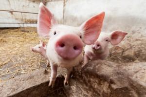 Pomoc dla rolników za likwidację chowu świń  na terenach objętych ASF