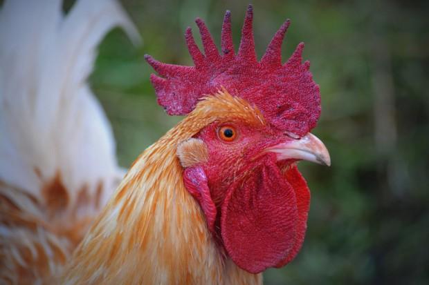 Francuski resort rolnictwa potwierdza przypadek zaraźliwej ptasiej grypy