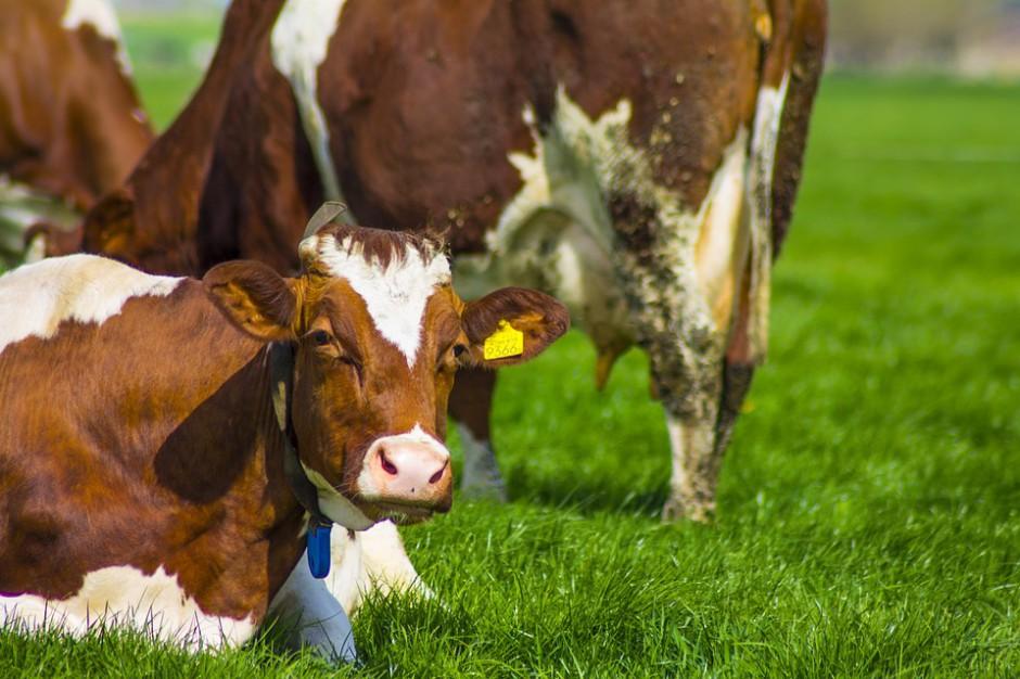 Portugalia: Moda na luksusowe spa dla... bydła