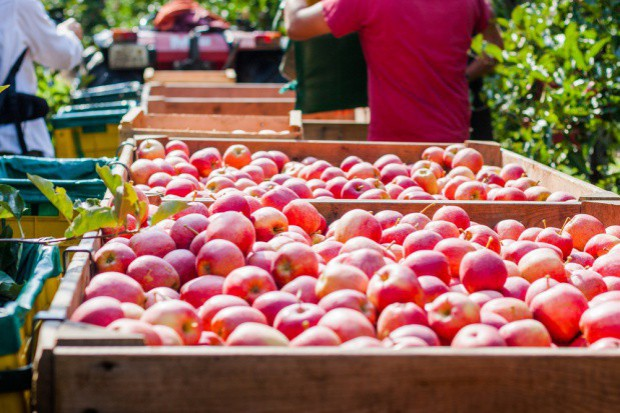 Zobacz najnowszą prognozę zbiorów jabłek i gruszek w Polsce