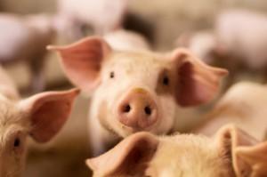 Blisko 1,1 tys. świń w kolejnym ognisku ASF w Podlaskiem