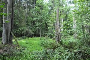 Politycy podzieleni w sprawie wycinki w Puszczy Białowieskiej