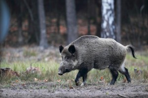 Branża mięsna zaniepokojona kolejnymi ogniskami ASF
