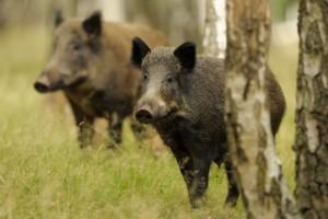 W Czechach 29 dzików padło na afrykański pomór świń