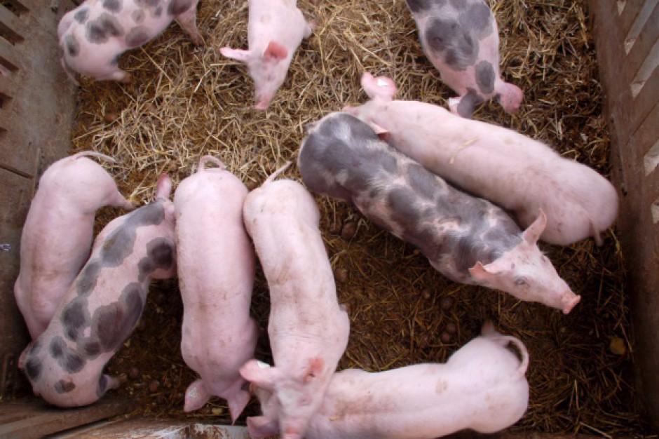 Projekt ustawy ma ułatwić zwalczanie afrykańskiego pomoru świń