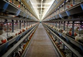 Pozytywne sygnały dla rynku drobiu