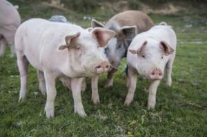 Sejm uchwalił ustawę ułatwiającą zwalczanie afrykańskiego pomoru świń