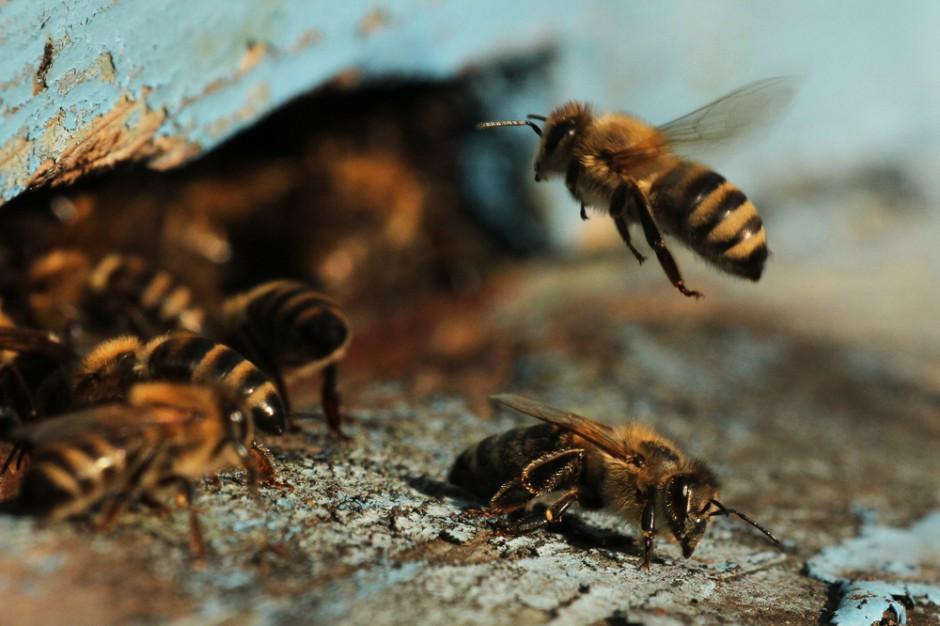 Samorządy założą ponad tysiąc pszczelich