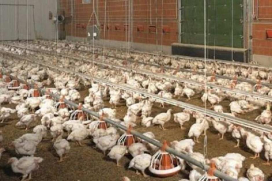 GIW: Import polskiego drobiu może być wznowiony