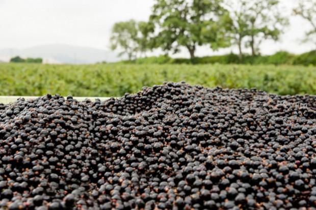 Trudny sezon dla producentów czarnej porzeczki