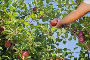 W przetwórstwie owocowo-warzywnym pracuje więcej Ukraińców niż Polaków