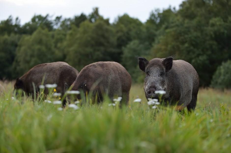 W powiecie włodawskim w populacji dzików pojawiło się ognisko ASF