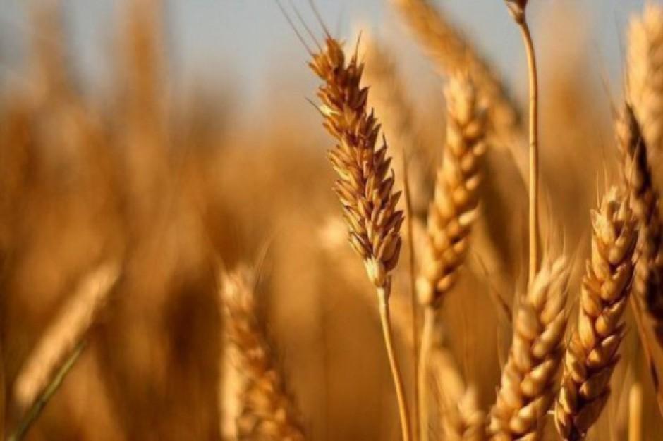 GUS: Zbiory zbóż w 2017 będą o 8 procent większe niż w 2016