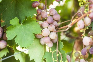 ARR: Mija termin złożenia deklaracji dotyczących rynku wina