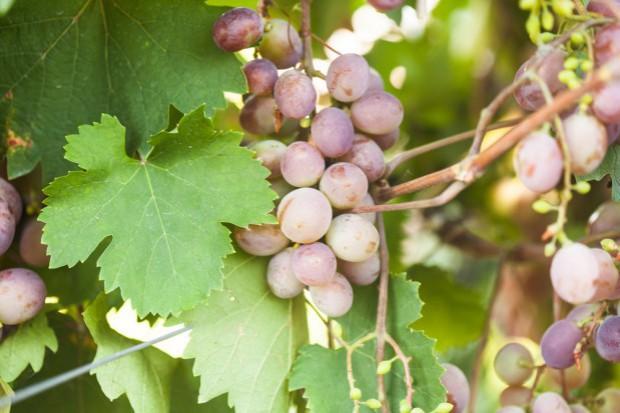 Winnicom może zaszkodzić zmiana klimatu
