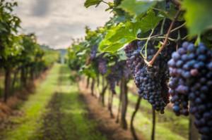 Polska ma ok. 500 winnic i cały czas zakładane są kolejne