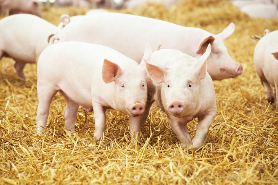 UE: Ceny świń o 7 proc. wyższe niż rok temu