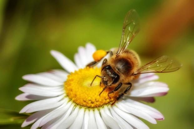 Proekologiczne projekty Ciechanowa dla pszczół