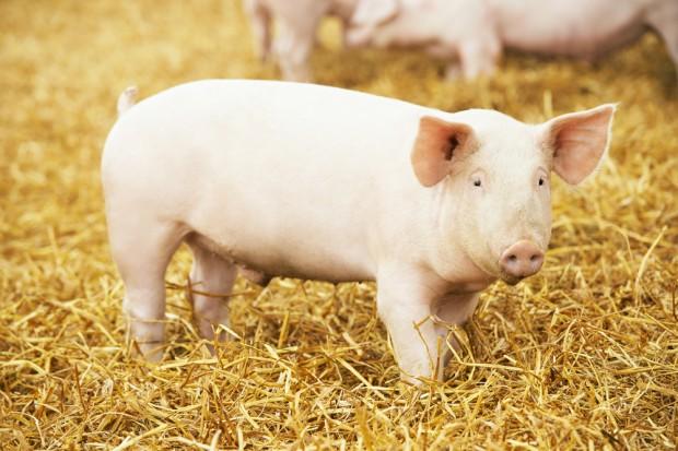 ARiMR przyjmuje wnioski o rekompensaty za rezygnację z hodowli świń
