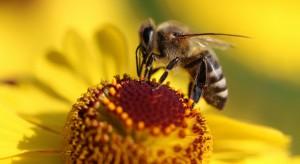 W Polsce przybywa pszczół. Także w miastach
