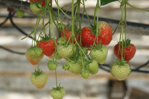 Dzięki umiarkowanemu klimatowi polskie truskawki są bardziej słodkie i soczyste