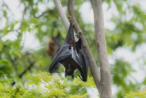 Cieszyn: Stwierdzono wściekliznę u martwego nietoperza